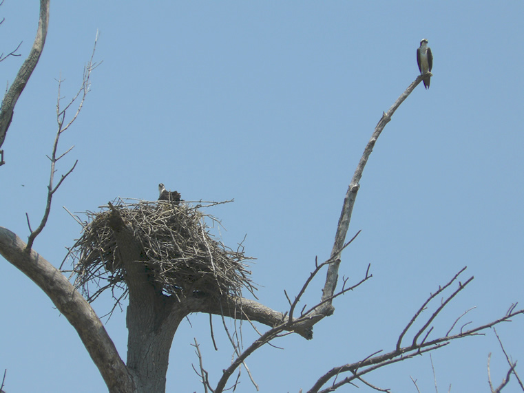 osprey pair at nest