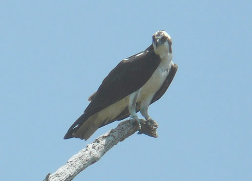 osprey on a brance