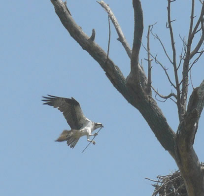 osprey securing nest