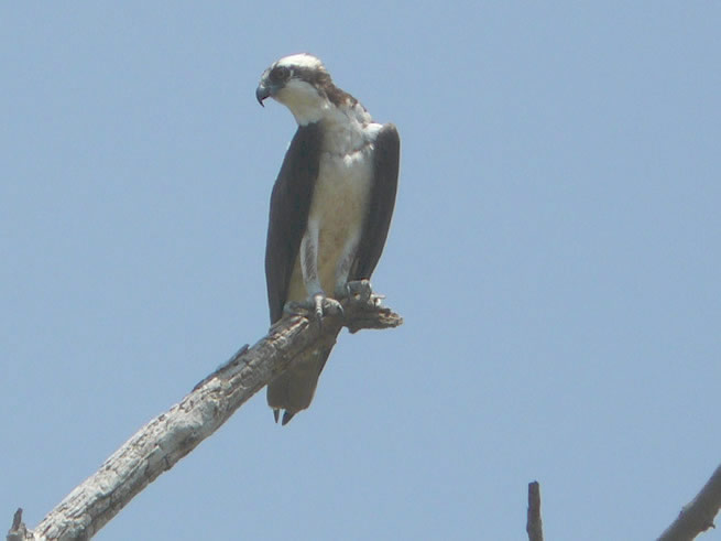 osprey on a branch