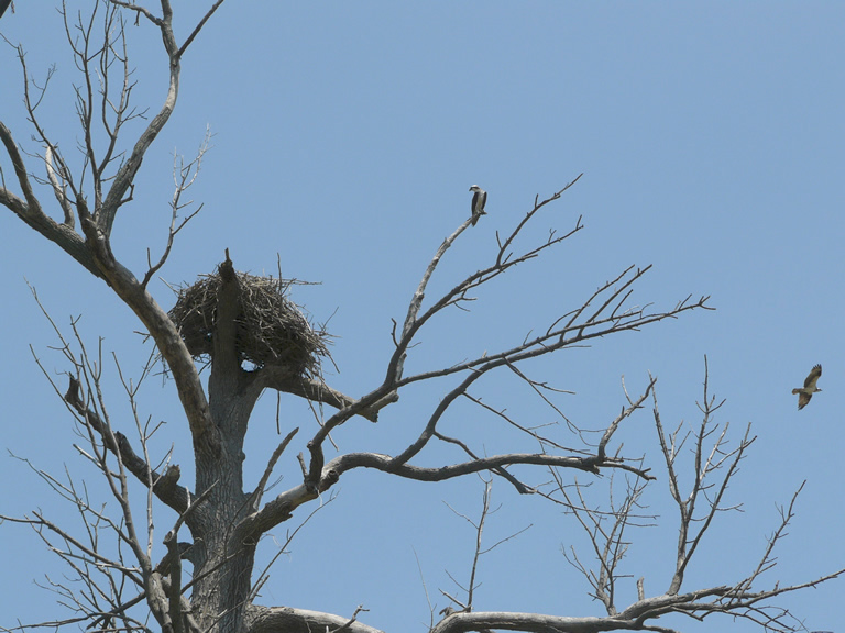 osprey nest and osprey in flight