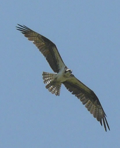 flying osprey close up